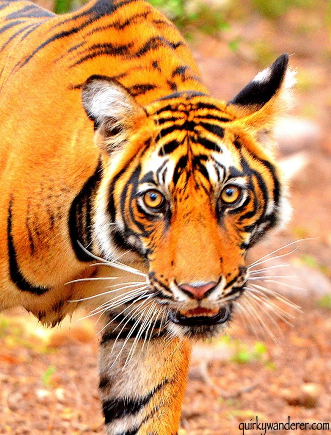 The Ranthambore Diaries Quirky Wanderer